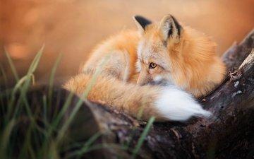 лиса, хищник, лисица, животное, хвост