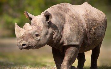 поза, рога, носорог