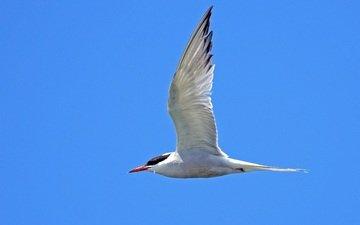 небо, полет, крылья, птица, клюв, перья, крачка