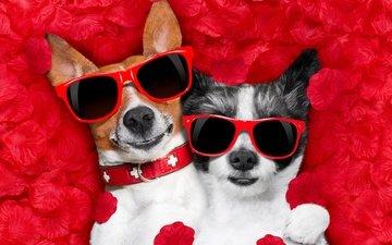 роза, лепестки, очки, сердце, любовь, романтика, юмор, собаки, чихуахуа, джек-рассел-терьер