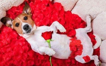 цветок, мордочка, роза, лепестки, взгляд, собака, юмор, джек-рассел-терьер