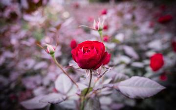 цветы, бутоны, листья, роза, лепестки, размытость, стебель