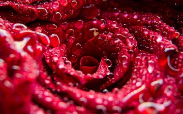 flower, rosa, drops, rose, petals, red rose, water drops, closeup