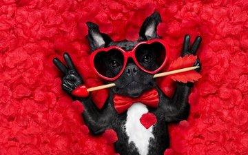 мордочка, роза, лепестки, взгляд, очки, собака, сердце, любовь, стрела, юмор, французский бульдог
