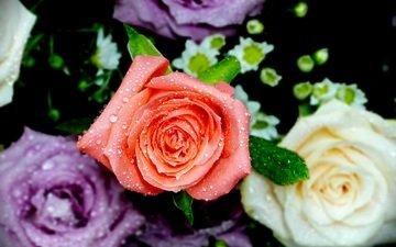 flowers, roses, petals, water drops