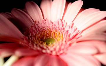макро, цветок, лепестки, гербера
