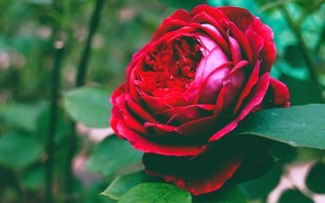 листья, цветок, роза, лепестки, бутон