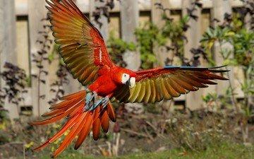 полет, крылья, птица, клюв, перья, попугай, ара
