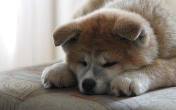 мордочка, взгляд, собака, щенок, акита-ину, акита