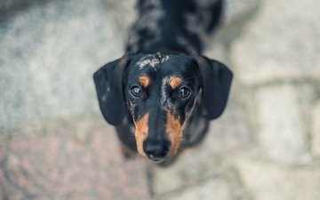 мордочка, взгляд, собака, щенок, друг, такса, davide lopresti