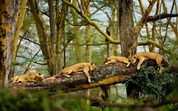 trees, nature, sleep, africa, lions, predators, lioness
