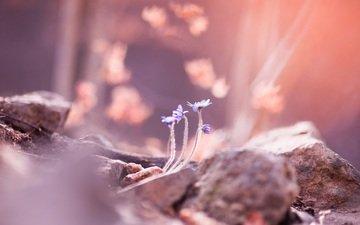 цветы, камни, размытость, весна