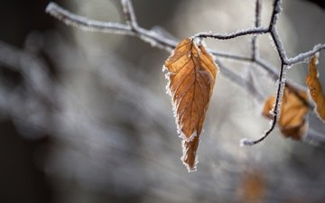 branch, nature, leaves, frost, autumn, blur