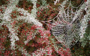 leaves, branches, the bushes, frost, web