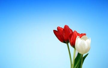 цветы, красные, весна, тюльпаны, белые