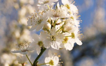 ветка, цветение, весна
