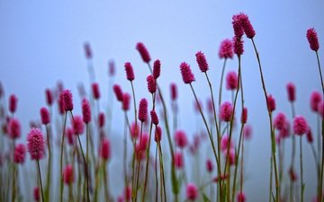 цветы, растения, размытость, весна, стебли, кровохлебка