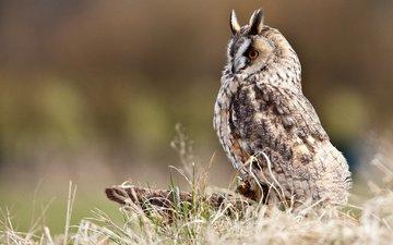 трава, сова, профиль, птица, клюв, перья, пенек, болотная сова, ушастая сова