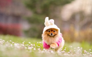 flowers, grass, nature, dog, blur, costume, running, spitz, bunny