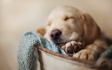 мордочка, сон, собака, щенок, ретривер, cобака, домашнее животное