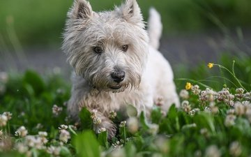 flowers, grass, nature, clover, dog, animal, the west highland white terrier, pamela buehler