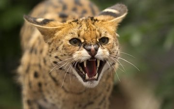 muzzle, mustache, cat, look, close-up, teeth, wild, jaws, serval, roar