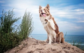 the sky, clouds, sand, muzzle, summer, look, dog, language, the border collie