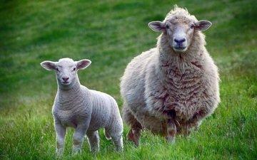 животные, взгляд, луг, овцы, скворцы, животно е, бараны