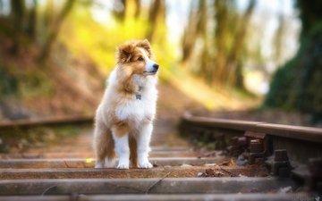 dogs, railway, fluffy, sheltie, looking away, shetland sheepdog