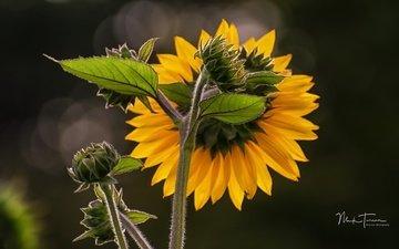 природа, лепестки, подсолнух, подсолнухи, желтые