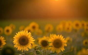 flowers, nature, petals, blur, sunflowers, yellow