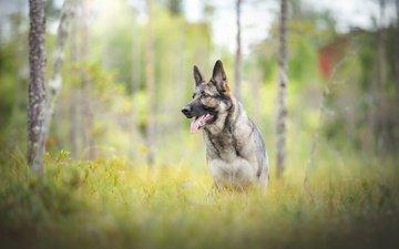 природа, мордочка, взгляд, собака, друг, язык, немецкая овчарка
