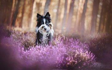 цветы, природа, мордочка, взгляд, собака, щенок, друг, лапки, бордер-колли