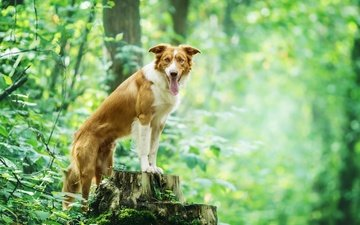 nature, leaves, branches, dog, each, language, stump, the border collie
