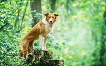 природа, листья, ветки, собака, друг, язык, пень, бордер-колли