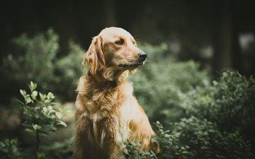 листья, мордочка, взгляд, собака, друг, золотистый ретривер