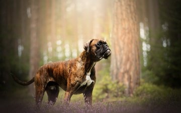 природа, собака, друг, боксер