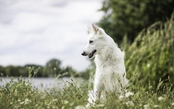 nature, muzzle, look, dog, each, the white swiss shepherd dog
