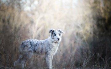 мордочка, взгляд, собака, щенок, друг, австралийская овчарка