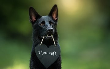 muzzle, look, dog, heart, each, german shepherd
