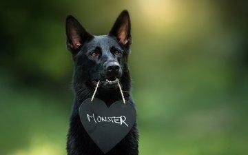 мордочка, взгляд, собака, сердце, друг, немецкая овчарка