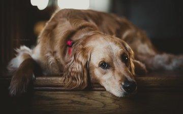 мордочка, взгляд, собака, друг, золотистый ретривер