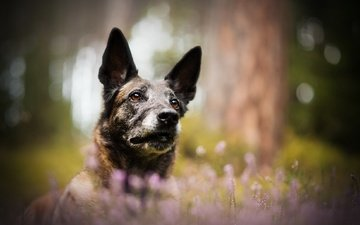 цветы, мордочка, взгляд, собака, размытость, друг, немецкая овчарка