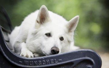 мордочка, взгляд, собака, скамья, белая швейцарская овчарка
