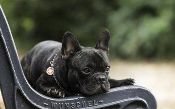 мордочка, взгляд, собака, щенок, скамейка, скамья, французский бульдог