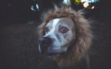 мордочка, взгляд, собака, друг, мех