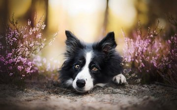 flowers, muzzle, look, dog, each, the border collie