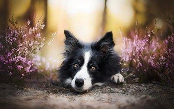 цветы, мордочка, взгляд, собака, друг, бордер-колли