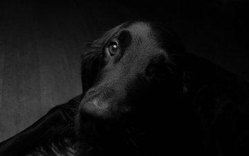 мордочка, взгляд, чёрно-белое, собака, друг
