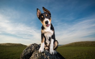 the sky, clouds, stones, field, look, dog, puppy, ears